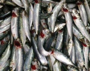 sardalya balığı ve tarifleri