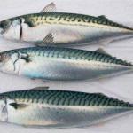 uskumru-atlantic-mackerel-scomber-scombrus