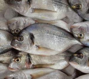 Çipura balığı Çupra resmi