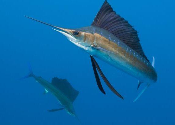 cıva seviyesi yüksek olan kılıç balığı yani swordfish