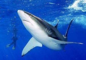 cıva seviyesi yüksek olan köpek balığı