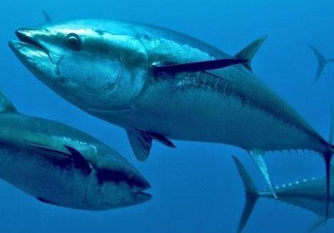 Ton Balığı- Orkinos