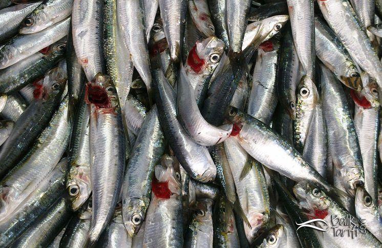 Sardalya hangi ayda daha lezzetli olur? Hangi mevsimde hangi balık yenir?