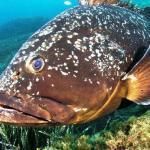 orfoz balığı